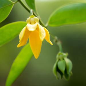 Parfumant cosmetic Ylang Ylang 10 ml