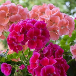 Parfumant cosmetic Muscata (fara alergeni) 10 gr
