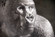 Deco Gedetailleerd Gorilla XL 75 cm zilveren aapbeeld gemaakt van kunststeen