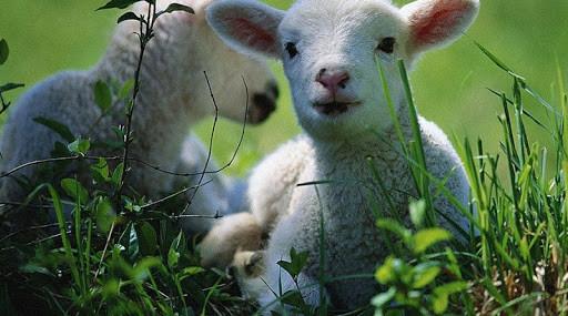De ce Domnul vrea să ne asemene oilor?