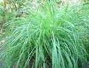 Etericno ulje Limunska trava,ekstra 10ml