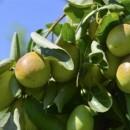 Oshadhi biljno ulje jojoba 30ml