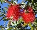 Oshadhi etericno ulje Eukaliptus limunski 10ml
