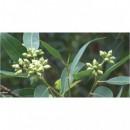 Oshadhi eterično ulje eukaliptus polibraktea kripton 10ml