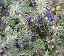 Etericno ulje Borovica, bobice (Kleka) 5ml