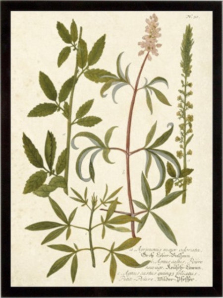 Botanica Agrimonia