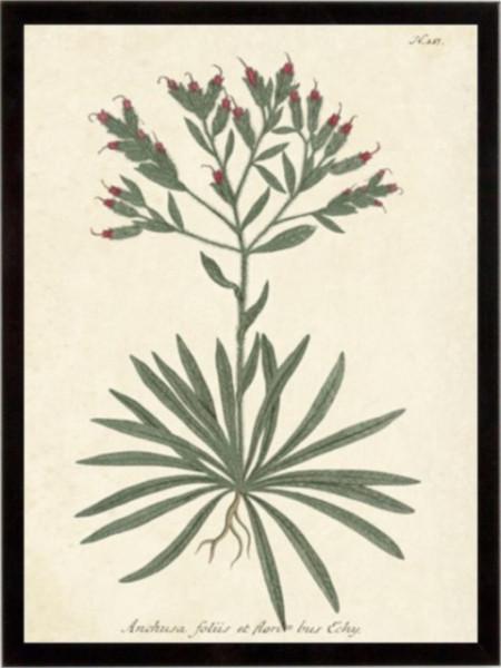 Botanica Anchusa