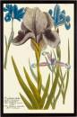 Iris Resplendant IV