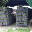 15000 mazzi di lavandino disposti in cartoni da 50 mazzi raccolto 2019