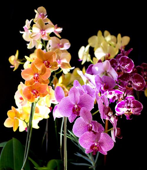 Venatori e Cutter Orchidea