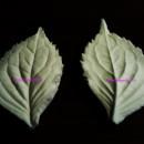 Ortensia Foglia. 2 Venatori in silicone