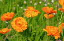 Petali di fiori di Calendula