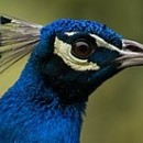 Blu  pavone Metallizzato colorante in gel