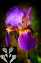 Iris Barbuto 11 cm . 6 Grandi Venatori in silicone