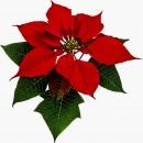 Stella di Natale. Poinsettia. Stampi