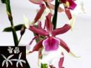 Orchidea Cambria 13 cm. Sepali Lunghi. 4Venatori in silicone