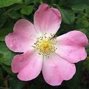 Rosa Canina con Venature e foglie a forma di cuore.