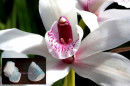 Orchidea Cymbidium Colonna Centrale. 2 Venatori in silicone