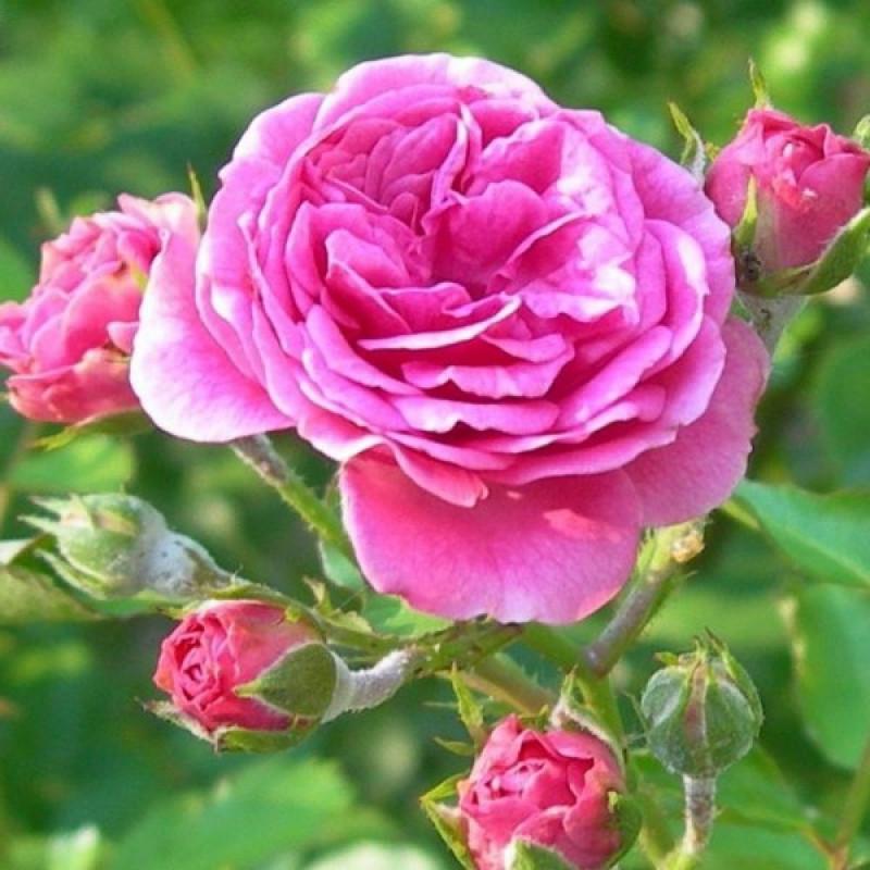 Povestea trandafirului