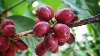 TYPICA SI BOURBON VARIETATI DE CAFEA - ISTORIE