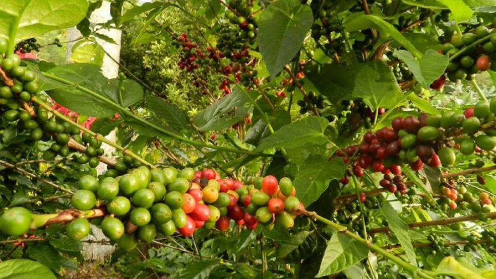 VARIETATI DE CAFEA ARABICA - de la salbaticie la adaptare si hibritizare.