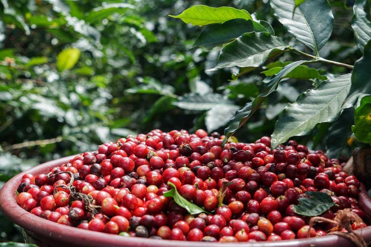 CAFELE RARE #COFFEE RARITIES