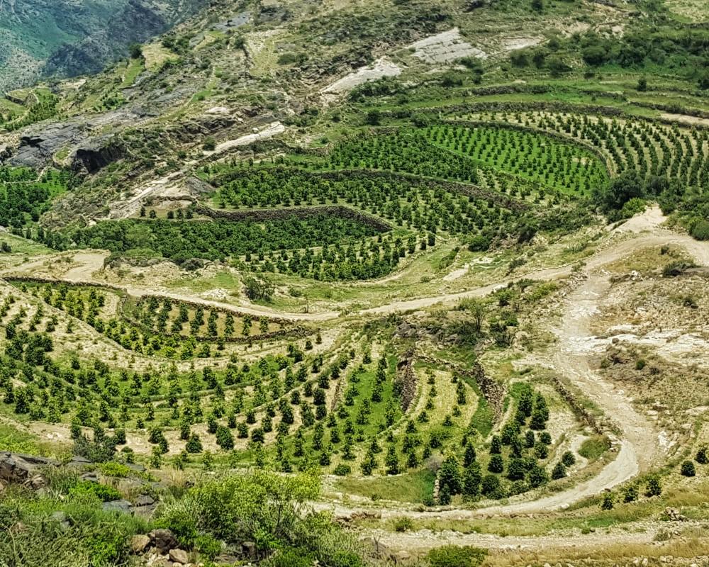 MOCHA YEMEN - cafeaua de pe cele mai vechi plantatii din lume