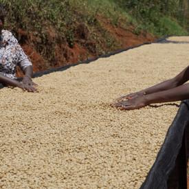 Cafea KENYA AA TOP GIKANDA KANGOCHO MICROLOT Arabica 100g, recolta 2019