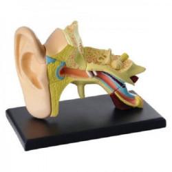 Model ljudskog uha SK012 ( 11781 )