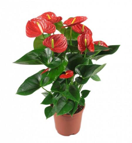 Anthurium Floarea Flamingo