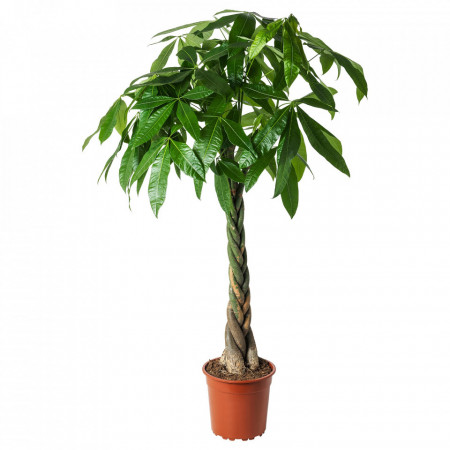 Pachira Copacul banilor 120cm