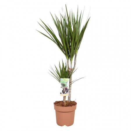 Dracaena marginata - Copacul dragon 2 tulpini