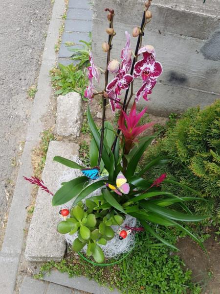 aranjament-ghivece-orhidee-phalaenopsis-guzmania-crassula