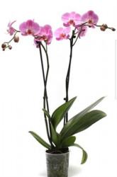 Orhidee 2 tije