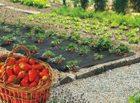 Folija za jagode SIVO CRNA 1,2mx500m 30mic - rupe 30x30