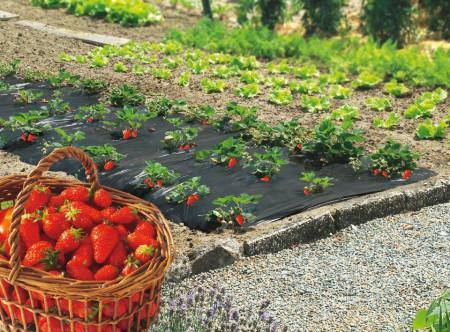 Folija za jagode CRNA 1,2mx1000m 40mic - rupe 30x30