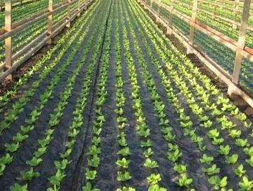 PE folija za salatu 2mx500m paralelne rupe