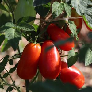 Dimljeni paradajz u maslinovom ulju 314ml FATALNI ZAČINI