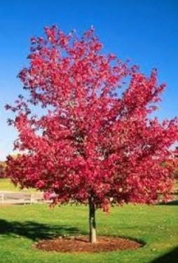 Poze Artar roșu (Acer rubrum)