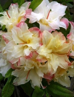 Poze Azalee dublă (rhododendron) Cannon's Double