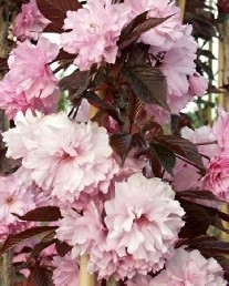 Poze Cireș japonez Royal Burgundy (Prunus serrulata Royal Burgundy)