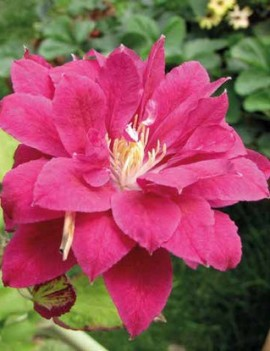 Poze Clematis Red Star