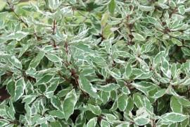 Poze Corn decorativ (Cornus alba Sibirica Variegata)