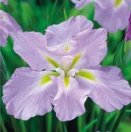 Poze Iris Ensata Monogasumi