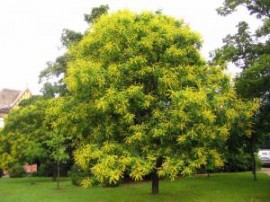 Poze Koelreuteria - Koelreuteria paniculata