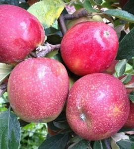 Poze Măr Braeburn