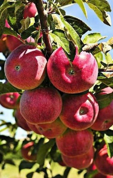 Poze Măr Cortland