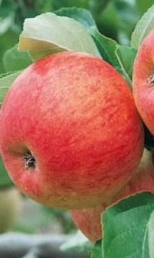 Poze Măr Pinova