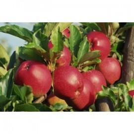 Poze Măr Romus 3