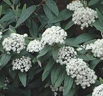 Poze Călin veșnic verde (Viburnum rhytidophyllum)
